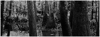 Green swamp forest in summer. Congaree National Park (Panoramic black and white)