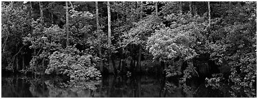 Summer green forest reflected in pond. Congaree National Park (Panoramic black and white)