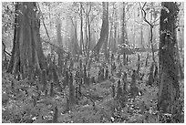 Cypress knees in misty forest. Congaree National Park ( black and white)