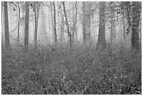 Bamboo and forest in fog. Congaree National Park, South Carolina, USA. (black and white)