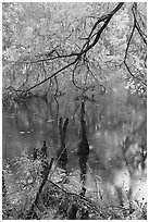 Branch of cypress in fall color overhanging above Weston Lake. Congaree National Park ( black and white)