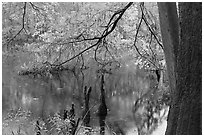Bald cypress and branch with needles in fall color at edge of Weston Lake. Congaree National Park, South Carolina, USA. (black and white)