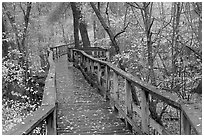 High boardwalk in deciduous forest with fallen leaves. Congaree National Park, South Carolina, USA. (black and white)