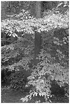 Pine trunk and undergrowth leaves in fall color. Congaree National Park ( black and white)