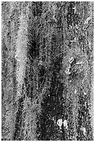 Close-up of spanish moss on trunk. Congaree National Park ( black and white)