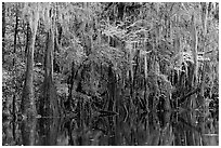 Spanish moss hanging from cypress at the edge of Cedar Creek. Congaree National Park, South Carolina, USA. (black and white)