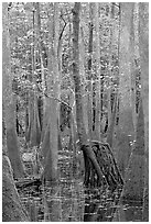 Walking tree in swamp. Congaree National Park, South Carolina, USA. (black and white)