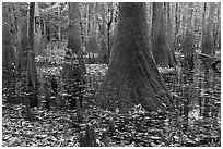Cypress knees and trunks in swamp. Congaree National Park, South Carolina, USA. (black and white)