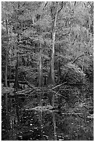 Bald cypress in fall colors and dark waters. Congaree National Park ( black and white)