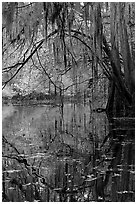 Branches with spanish moss reflected in Cedar Creek. Congaree National Park, South Carolina, USA. (black and white)
