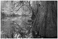 Buttressed cypress base and spanish moss reflected in Cedar Creek. Congaree National Park ( black and white)