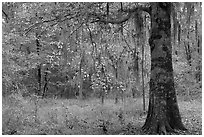 Tree with leaves in autum colors. Congaree National Park ( black and white)