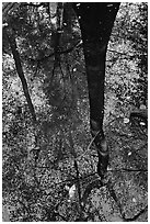 Bald cypress tree reflected in creek. Congaree National Park ( black and white)