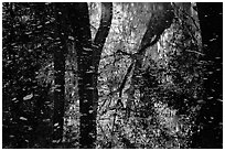 Reflections and falling leaves in creek. Congaree National Park, South Carolina, USA. (black and white)