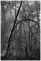 Trees with vines. Congaree National Park ( black and white)