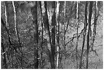 Cypress trees reflected in swamp. Congaree National Park, South Carolina, USA. (black and white)