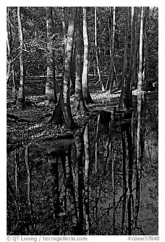 Trees trunks and reflections. Congaree National Park (black and white)