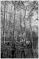 Tall trees and creek. Congaree National Park, South Carolina, USA. (black and white)