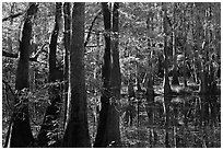 Cypress and Wise Lake on a sunny day. Congaree National Park ( black and white)