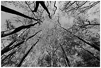 Floodplain forest canopy in fall color. Congaree National Park ( black and white)