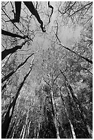 Looking upwards Floodplain forest. Congaree National Park, South Carolina, USA. (black and white)