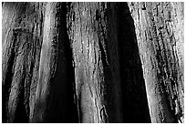 Close-up of buttressed base of bald cypress. Congaree National Park ( black and white)