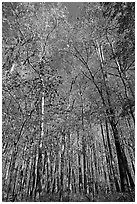 Tall floodplain forest trees. Congaree National Park ( black and white)