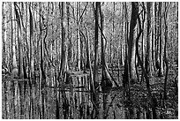 Floodplain trees growing out of swamp on a sunny day. Congaree National Park ( black and white)