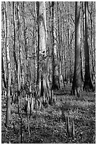 Cypress knees and tall cypress trees on a sunny day. Congaree National Park, South Carolina, USA. (black and white)