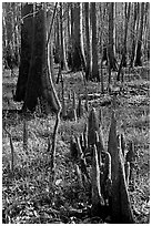 Floor of floodplain forest with cypress knees. Congaree National Park ( black and white)