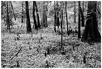 Cypress and undergrowth with knees in summer. Congaree National Park ( black and white)