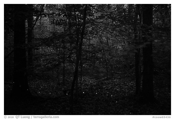 Fireflies. Congaree National Park (black and white)