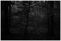 Fireflies. Congaree National Park ( black and white)