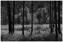Meadow framed by pine trees. Congaree National Park ( black and white)