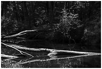 Cedar Creek near Barrister Bridge. Congaree National Park ( black and white)