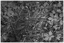 Close-up of fallen pine needles, cones, and forest undergrowth. Congaree National Park ( black and white)