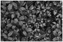 Close-up of leaves and fallen pine needles. Congaree National Park ( black and white)