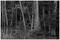 Flooded Floodplain forest near Bates Bridge. Congaree National Park ( black and white)