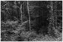Lush vegetation along Bates Ferry Trail. Congaree National Park ( black and white)