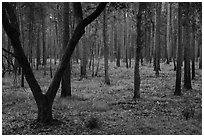 Pine forest. Congaree National Park ( black and white)