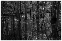 Flooded forest and reflections. Congaree National Park ( black and white)