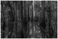 Flooded boardwalk. Congaree National Park ( black and white)