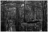 Visitor looking, flooded forest in summer. Congaree National Park ( black and white)