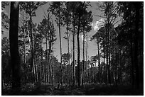 Pine forest on North Bluff. Congaree National Park ( black and white)