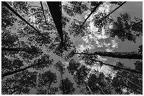 Looking up pine forest. Congaree National Park ( black and white)