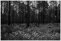 Summer wildflowers and pine forest. Congaree National Park ( black and white)