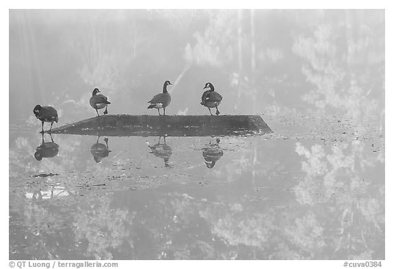 Geese and misty reflections on Kendall Lake. Cuyahoga Valley National Park (black and white)