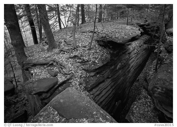 Sandstone cracks, moss, fallen leaves, and trees with bare roots, The Ledges. Cuyahoga Valley National Park (black and white)