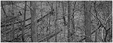 Bare forest with fallen trees on hillside. Cuyahoga Valley National Park (Panoramic black and white)
