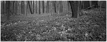 Forest floor with bare trees and early wildflowers, Brecksville Reservation. Cuyahoga Valley National Park (Panoramic black and white)